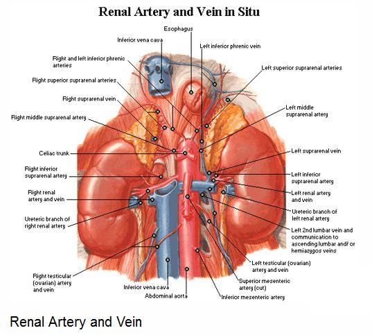 renal arteries